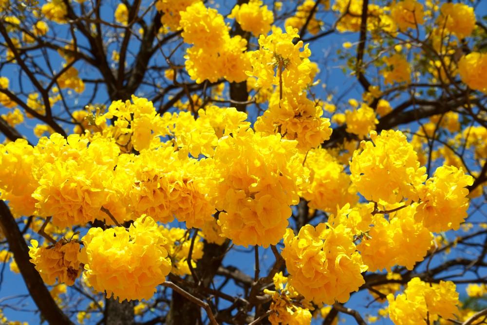 Florada dos ipês anuncia a primavera em Curitiba